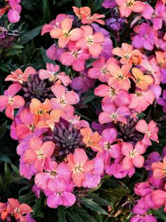 Erysimum Monet's Moment