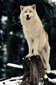 """The original photo is titled """"Artic Wolf"""" by Josef Gelernter. You can check out out his photography at http://500px.com/JosefGelernter !"""