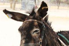 Light Reflecting Donkeys Roam Botswana