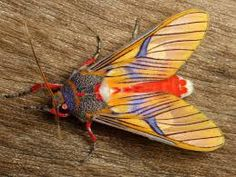 Image result for Arctiidae Tiger Moth