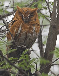Otus semitorques: The Japanese Scops Owl Owl Species, World Birds, Screech Owl, Beautiful Owl, Sea Otter, Owl Bird, Cute Owl, Birds Of Prey, Owls