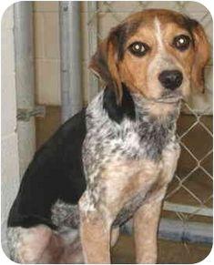 beagle blue tick hound mix