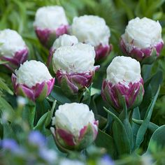 Buy double late tulip bulbs Tulipa 'Ice Cream': Delivery by Crocus