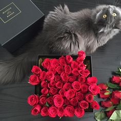 Maison des Roses work today, and fatty is very involved. Mostly just stealing roses and drinking water out of vases, it's a productive day for furry. #Mischka #RussianBlue #mycat #atwork #MaisonDesRoses #bloombox #red #roses #TajMahal #ScarlettOHara