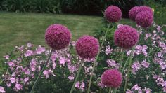 alliums and malva http://www.houzz.com/photos/31430/Clinton-and-Associates-Landscape-Architects-in-Washington-DC-Maryland-and-Virg-traditional-landscape-dc-metro