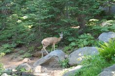 Sequoia National Park Wallpaper | Deer by the Trail in Sequoia National Park wallpaper - Click picture ...