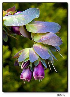 Cerinthe major 'Purpurascens',BLUE SHRIMP PLANT, BLUE HONEYWORT, BLUE WAX FLOWER  Family:  Boraginaceae