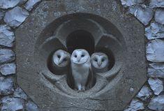 Barn Owls at Church - Imgur