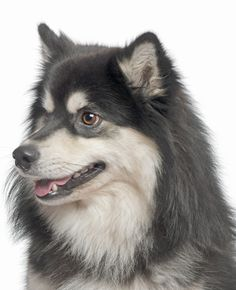 finnish Lapphund photo | more breeds finnish lapphunds looking for a home finnish lapphunds ...