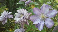 Clematis Proteus - double and single flowers at the same time. Photo: Dagmara Walkowicz