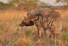 Photo by Luise Dittombee Brown Hyena, Striped Hyena, Life Is Too Short Quotes, African Animals, African Safari, Tier Fotos, Wild Dogs, Animals Of The World, Wildlife Photography