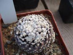 12iunie 014 - Cactusi la Constanta Cactus, Succulents, Food, Cacti, Essen, Succulent Plants, Meals, Yemek, Eten