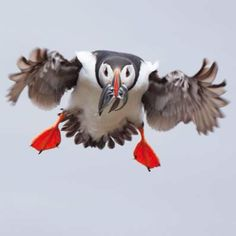 Flying puffins are awesome!