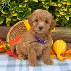 Bich-poo Puppy in Bird in Hand, PA Free Crochet Rose Pattern, Greenfield Puppies, Bichon Frise, Puppies For Sale, Poodle, Dog Food Recipes, Bird, Pets, Birds