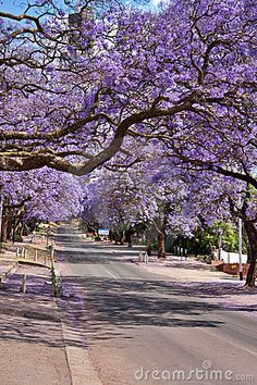 Jacaranda trees lining the street in Pretoria, South Africa, purple bloom in October Old Paper Background, Lavender Aesthetic, Nature Color Palette, Blue Abstract, Day Trip, Mother Nature, Jacaranda Trees, Nature Photography, Exotic