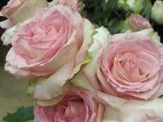 Esperance Roses - Available thru Avon (Avon preferred rose) - Bloom size Large