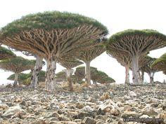 La isla encantada de Yemen. La isla principal, apenas tiene una extensión de 130 kilómetros de largo por 35 kilómetros de norte a sur y posee un clima tropical desértico: las condiciones geográficas de sequía y calor, sumadas a la situación de aislamiento generaron un ambiente y biodiversidad única en el planeta, con especies endémicas que conforman un pequeño mundo perdido.