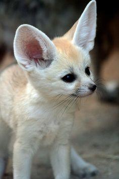 So cute Fennec fox! Super Cute Animals, Cute Little Animals, Cute Funny Animals, Funny Animal Pictures, Rare Animals, Happy Animals, Animals And Pets, Fennec Fox Pet, Pet Fox