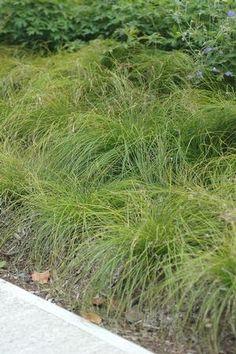 Carex radiata - Eastern Star Sedge #NewMoon #GetWildGrowNative @NewMoon_Nursery