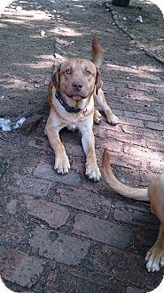 Charlestown, RI - Shepherd (Unknown Type)/Labrador Retriever Mix. Meet Marley, a dog for adoption. http://www.adoptapet.com/pet/11341574-charlestown-rhode-island-shepherd-unknown-type-mix