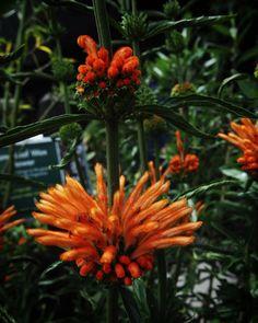 Interesting Plant: Leonotis leonurus