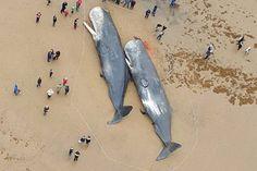 Les décès de baleines sont le symbole du mépris choquant de l'humanité pour la vie marine. En Janvier, 29 cachalots ont été retrouvés échoués sur les côtes autour de la mer du Nord, une région qui est trop peu profonde pour la faune marine.Récemment les détails de l'autopsie des animaux vient de tomber. Les scientifiques …
