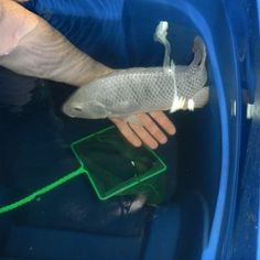 Raise your own Tilapia. The species is well-suited to container farming. Tilapia are not only easy to breed, they are also very efficient at converting food and they grow quickly. Lots of tips in this interesting article.<OP Great for aquaponics. Bushcraft, Permaculture Design, Aquaponics System, Hydroponics, Aquaponics Fish, Aquaponics Greenhouse, Hydroponic Gardening, Survival Prepping, Emergency Preparedness