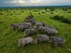 an elephant herd on the move in uganda