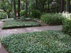 (Asian Jasmine, Dwarf Jasmine, Japanese Star Jasmine) Evergreen trailing vine forms a dense mat that carpets or climbs. Country Landscaping, Home Landscaping, Tropical Landscaping, Front Yard Landscaping, Inexpensive Landscaping, Jasmine Ground Cover, Fresco, Asian Jasmine, Evergreen Vines