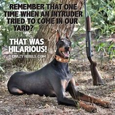 The Doberman Pinscher is among the most popular breed of dogs in the world. Known for its intelligence and loyalty, the Pinscher is both a police- favorite Doberman Colors, Doberman Love, Funny Animal Pictures, Funny Animals, Cute Animals, Funny Dogs, Cute Dogs, Doberman Pinscher Dog, Dog Signs