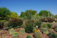 Desert Plants | The Ottosen Entry Garden contains desert plants and cactus in bloom.