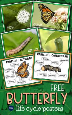 Butterfly Life Cycle Resources & Free Printables - Around the Kampfire Butterfly Project, Butterfly Kids, Butterfly Life Cycle, Butterfly Meaning, Insect Activities, Spring Activities, Sequencing Activities, Kindergarten Art Projects, Kindergarten Science