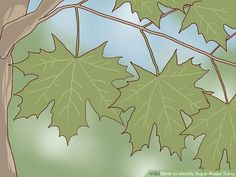 How to Identify Sugar Maple Trees. The sugar maple tree (Acer saccharum) grows abundantly in the northeastern part of North America: the northeastern United States (including as far south as Tennessee) and the southeastern portion of. Tapping Maple Trees, Homemade Maple Syrup, Tree Identification, Travel Toys, Textile Art, Sugar, Seasons, Bad Axe, Image