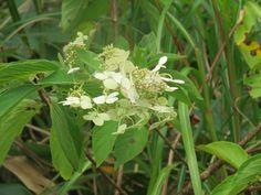 ノリウツギ. Hydrangea paniculata . 27 September 2016.