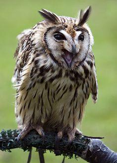 Owl a  la mexicana