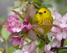 Yellow Warbler sitting in a flowering crab apple tree. We love crab apple trees especially dwarf ones for smaller yards. They can be worked into almost any landscape plan even a large patio planter and obviously, the birds love them