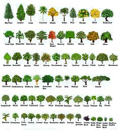 CHOP AND SHAKE TREES HEIGHT and GROWTH :: FarmTown One.Stop.Shoppe (FOSS) Tree Leaf Identification, Tree Care, Tree Leaves, Garden Projects, Botany, Trees To Plant, Garden Landscaping, Gardening Tips, Planting Flowers