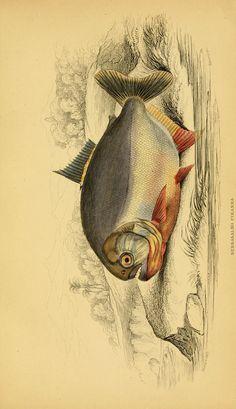 v. 39: Ichthyology v. 5 (Fishes of British Guiana, Part 1; Memoir Robert H. Schomburgk) - Ichthyology / - Biodiversity Heritage Library