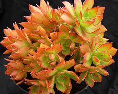 Aeonium leucoblepharum Sicily Form