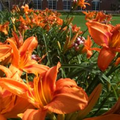 Lilies-these remind me of Kenwood beach