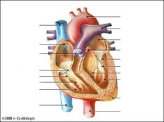 Coeur, Anatomie, Schémas, Système circulatoire