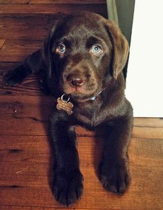 chocolate lab puppy. -wish ant would let me get a lab so cute LOL