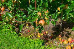 nice Apfelplantage Königreich Numero 17,  #Landleben