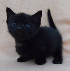 the munchkins black and white pictures | black Munchkin kitten (countrymunchkins2011) Tags: countrymunchkins