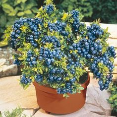 who knew? blueberries thrive in container gardens!