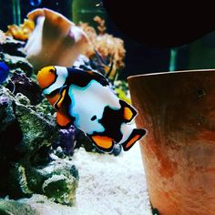 Welcome to our first Fish Of the Month Competition (FOTM) for The competition is open to everyone registered on MASA with any kind of camera. Marine Aquarium Fish, Kinds Of Camera, Clownfish, One Fish, Anemones
