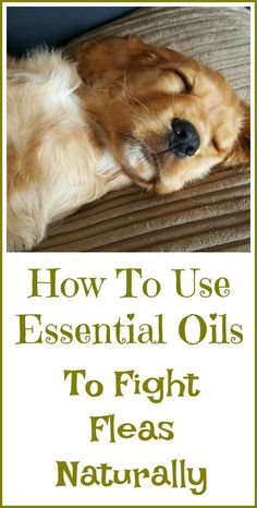 How to kill fleas naturally, with essential oils.