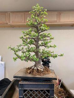 Jade Plant Bonsai, Succulent Bonsai, Jade Plants, Bonsai Garden, Succulents Garden, Bonsai Tree Care, Bonsai Trees, Acer Palmatum, Indoor Garden