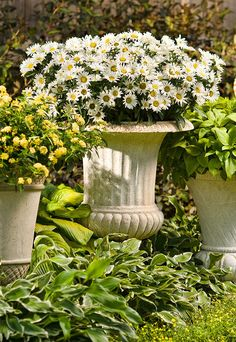 Amazing Daisies Daisy May is a sun loving perennial with long lasting blooms. Hardy for zones 5-9.