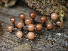 Organic Structure, Slime Mould, Mushroom Fungi, Natural Wonders, Amazing Nature, Flora, Stuffed Mushrooms, Fruit, Science